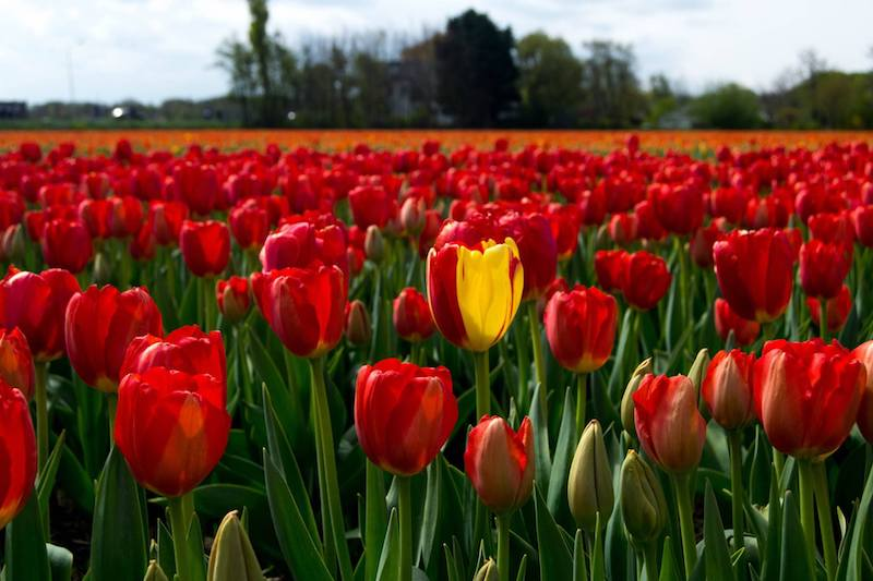 Photo of tulips in the Netherlands, see the tulips in the fields outside of Keukenhof for free!