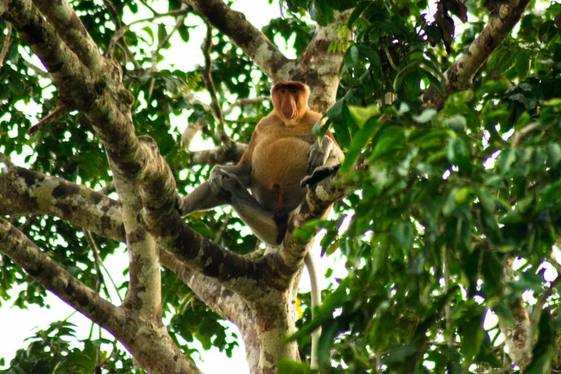Photo of Proboscis Monkey in Borneo. Read how to see proboscis monkeys in the wild and the best place to stay in Sabah Malaysia to see wildlife!