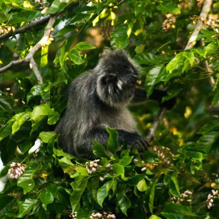 Photo of adult silver leaf monkey in Borneo, one of the monkeys of Borneo that you'll see on a river cruise in Borneo!