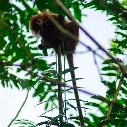 Red Leaf Monkey in Borneo. Read on how to experience ecotourism in Borneo and what you need to know before your trip to Borneo.