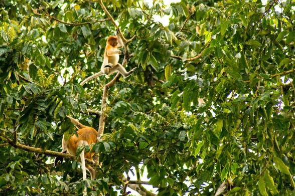 Female proboscis monkey jumping in Borneo, taken from a eco-tourism cruise in the Kinabatangan river.