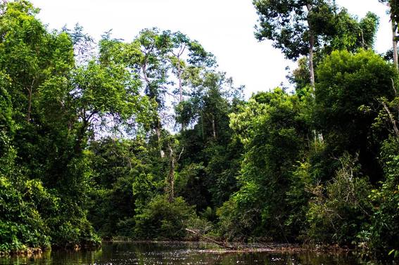 Borneo rainforest, one of the best places to see orangutans in the wild. Read tips on how to choose the perfect kinabatangan river cruise for you!