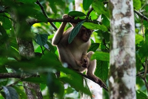 Macaque monkey in Borneo, one of the most common types of monkeys that you'll spot on your river cruise in Borneo. Read about experiencing the wildlife in Borneo!