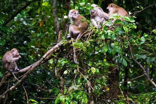 Photo of a family of macaque monkeys in the wild. Experience ecotourism in Borneo!