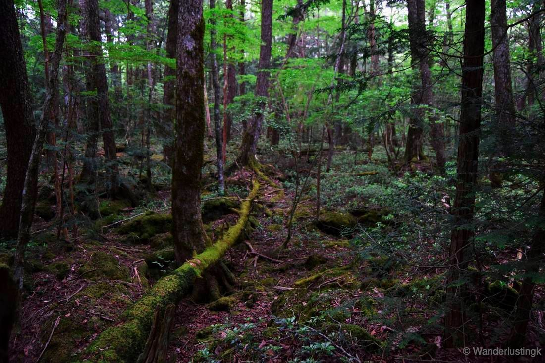 Photo of the Aokigahara Forest in Japan. Read about hiking in the Aokigahara forest and what to know about Japan's most infamous forest.