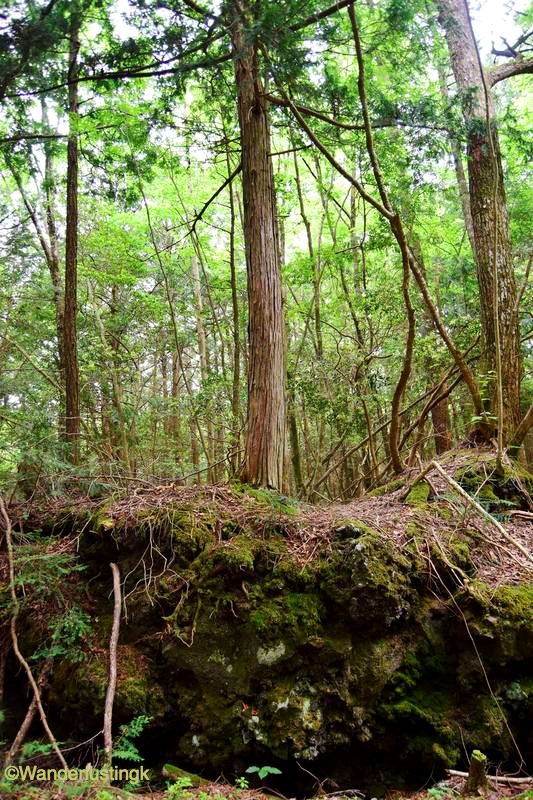 Photo of the Aokigahara Forest in Japan